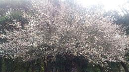 梅の花が満開。鶯も鳴き始めました。春はもうすぐです。