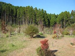 ドウダンツツジ、サルスベリが紅葉を始めました。第三樹木葬地