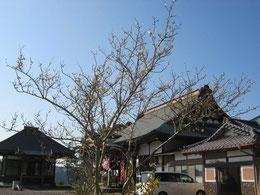 寺のろうばいも満開。花の少ない季節に和ませてくれます。