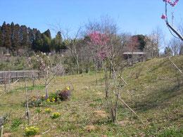 今年はヒメコブシよりハナモモが早い開花です。第二樹木葬地