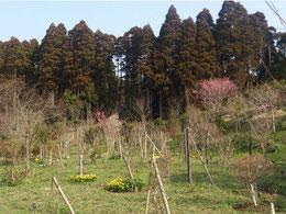 ヒメコブシ、ハナモモが一斉に花開き始めました。第一樹木葬地