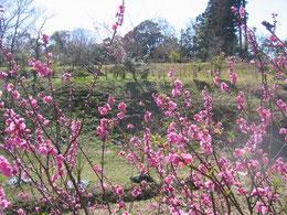 橋たもとのハナモモから樹木葬を臨む。春到来です。
