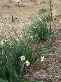 水仙の咲く第一樹木葬地