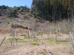 ヒメコブシは例年通りの開花です。第三樹木葬地