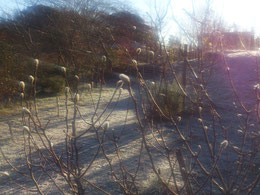 すっかり寒くなりましたが、木々は春に向けて力を蓄えています。ヒメコブシのつぼみ