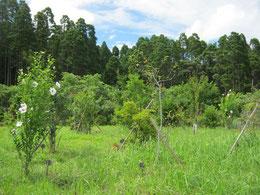 ムクゲも咲き始めました。第三樹木葬地