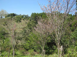 桜葬地の桜が咲きました。