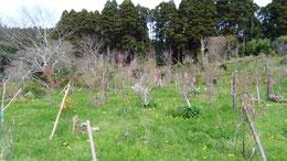 タンポポに覆われた第一樹木葬地