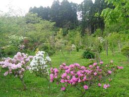 つつじの美しい季節になりました。第一樹木葬地