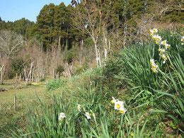 冬水仙咲く第一樹木葬地