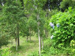 紫陽花の咲く第一樹木葬地