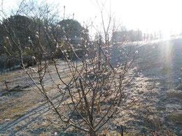 寒い中、つぼみは春の準備を進めています。第二樹木葬地