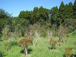 ドウダンツツジが色づき始めました。第一樹木葬地