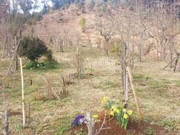 球根で植えた水仙などが樹木の足元を彩ります。第二樹木葬地