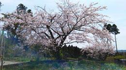 寺の桜も満開になりました。
