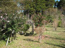 サザンカが咲き始めました。第一樹木葬地