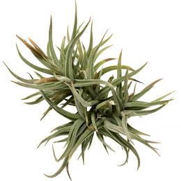 Fasciculata x Ionantha