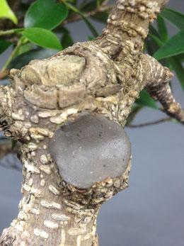 Japanische Wundverschluß-Knete ( nach dem Glattstreichen )