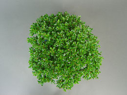 Blätter einer Zwergmispel Cotoneaster im Sommer