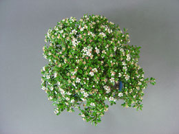 Blüte einer Zwergmispel Cotoneaster im Frühjahr