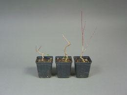 1-Jährige Jungpflanze Feuerahorn,  Acer ginnala mit schöner Stammbewegung