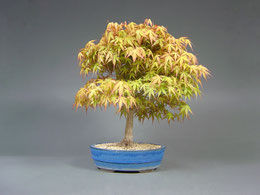 Fächerahorn / Acer palmatum, Bonsai Import aus Korea, Sommer