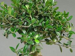 Blätter von einem Wilden Olivenbaum, Olea europaea sylvestris