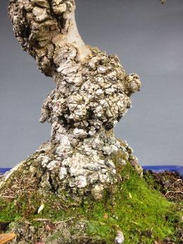 Tiefe gefurchte Rindenstruktur einer Esche Fraxinus