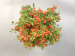 Frucht einer Zwergmispel Cotoneaster im Herbst