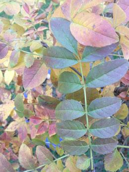 Herbstfärbung einer Esche Fraxinus