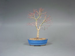 Fächerahorn / Acer palmatum, Bonsai Import aus Korea, Winter