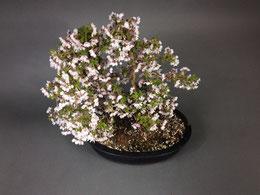 Märzkirsche, Prunus incisa ´Kojou-no-mai´
