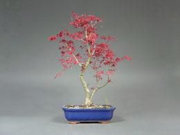 Fächerahorn / Acer palmatum, Bonsai Import aus Korea, Frühjahr