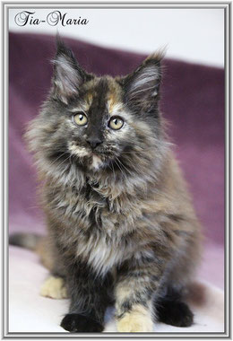 Mainecoon Kitten Tia Maria of Dantes Peak