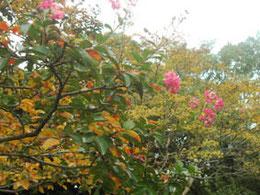 サルスベリの紅葉