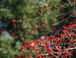 ●ハナミズキは、葉が落ちて赤い実がいっぱいついていました。