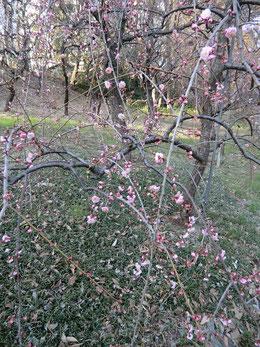 ●公園内には、春を告げる花々が咲いていました。梅です