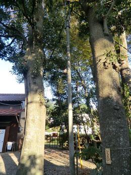 ●中庭に立つシラカシとカシの大木。その間の細い電柱に何か標のようなものが…