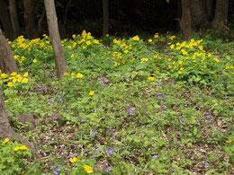 ヤマブキソウとスミレの咲く場所です