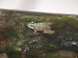 ●トウキョウダルマガエルです。井の頭自然文化園の分園(水生物園)にいました。仙台平野や関東平野に生息するカエルだそうです。
