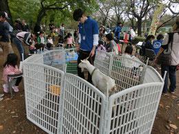 ●府中の森公園で行われた「どうぶつふれあいフェスタ」で出会ったヤギです。こどもたちの人気者でした。
