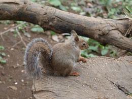 ●井の頭自然文化園のリス。食欲の秋なのか、ちょっと太目に見えました。