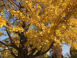 ●イチョウの黄葉:ラリーポイントの前、円形広場を取り囲むように立つイチョウ並木の一本が黄葉の真っ盛りでした。黄葉はこれからどんどん進んでいきますね