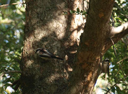 ●木の実を探していたら、鳥のエナガを発見!2羽がかくれんぼをしているように見えました。