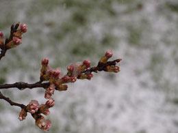 ●ソメイヨシノの蕾。寒さに耐えています。