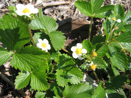 FRAGARIA VESCA (FRAGOLA)