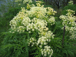 ANGELICA SYLVESTRIS (ANGELICA SELVATICA)