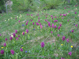 ORCHIS SAMBUCINA (ORCHIDEA SAMBUCINA)