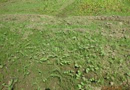 追加で種蒔きしたところが雑草の中で成長