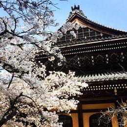 南禅寺の桜の写真